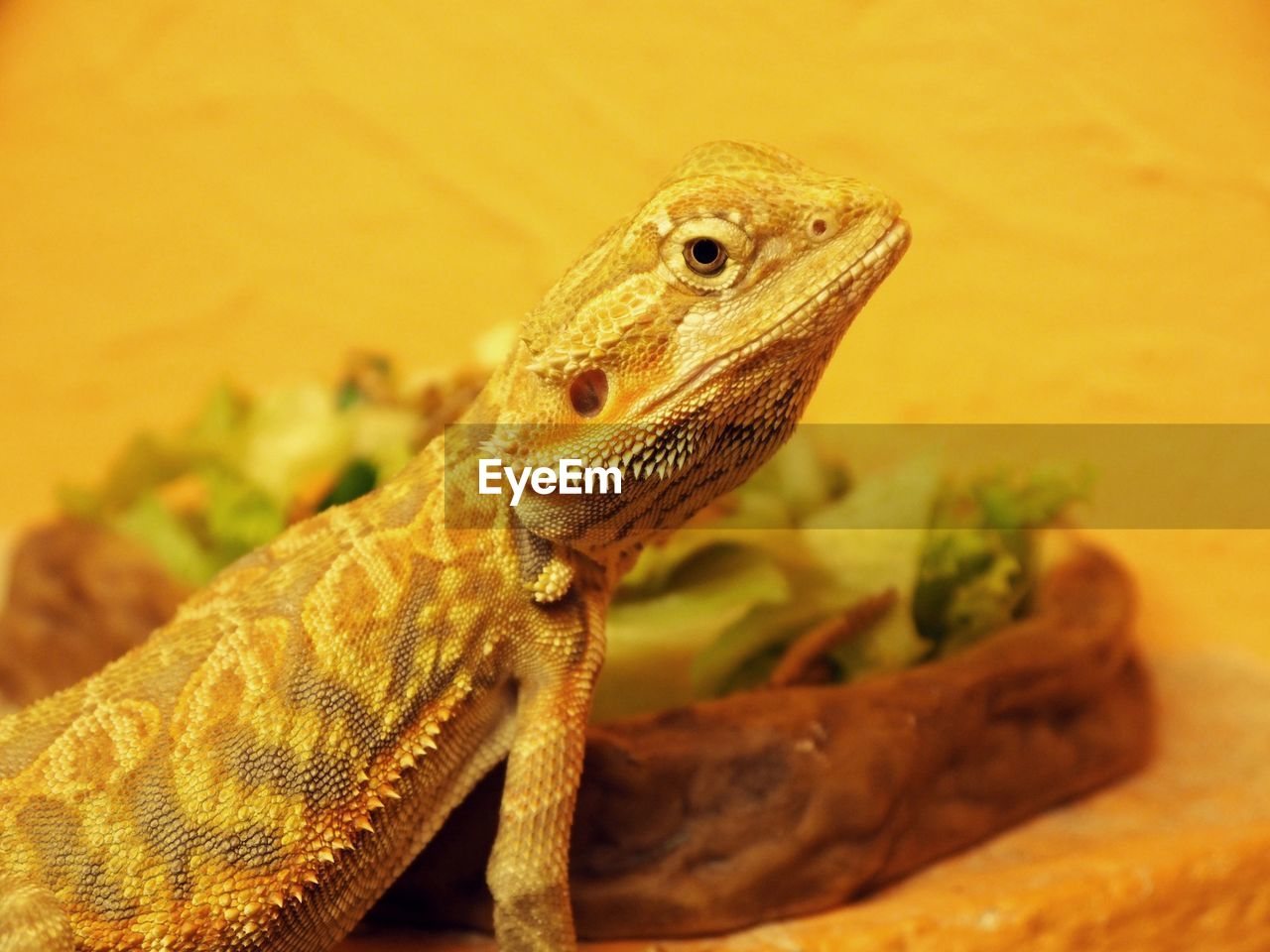 animal themes, animal, one animal, reptile, vertebrate, animal wildlife, animals in the wild, lizard, close-up, focus on foreground, no people, animal body part, bearded dragon, nature, selective focus, looking, looking away, animal head, outdoors, day, animal scale, animal eye