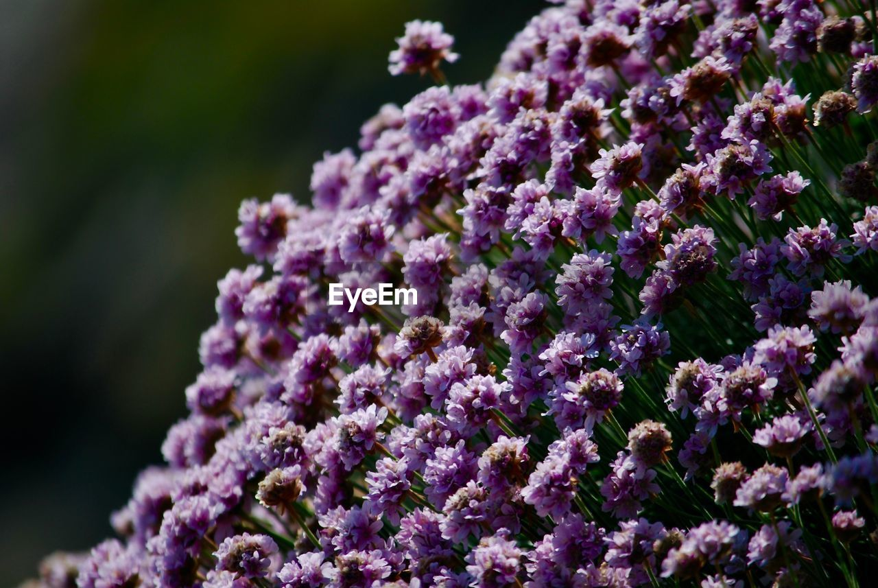 flower, fragility, beauty in nature, nature, purple, freshness, growth, day, no people, petal, close-up, plant, springtime, focus on foreground, outdoors, flower head, lilac, blooming