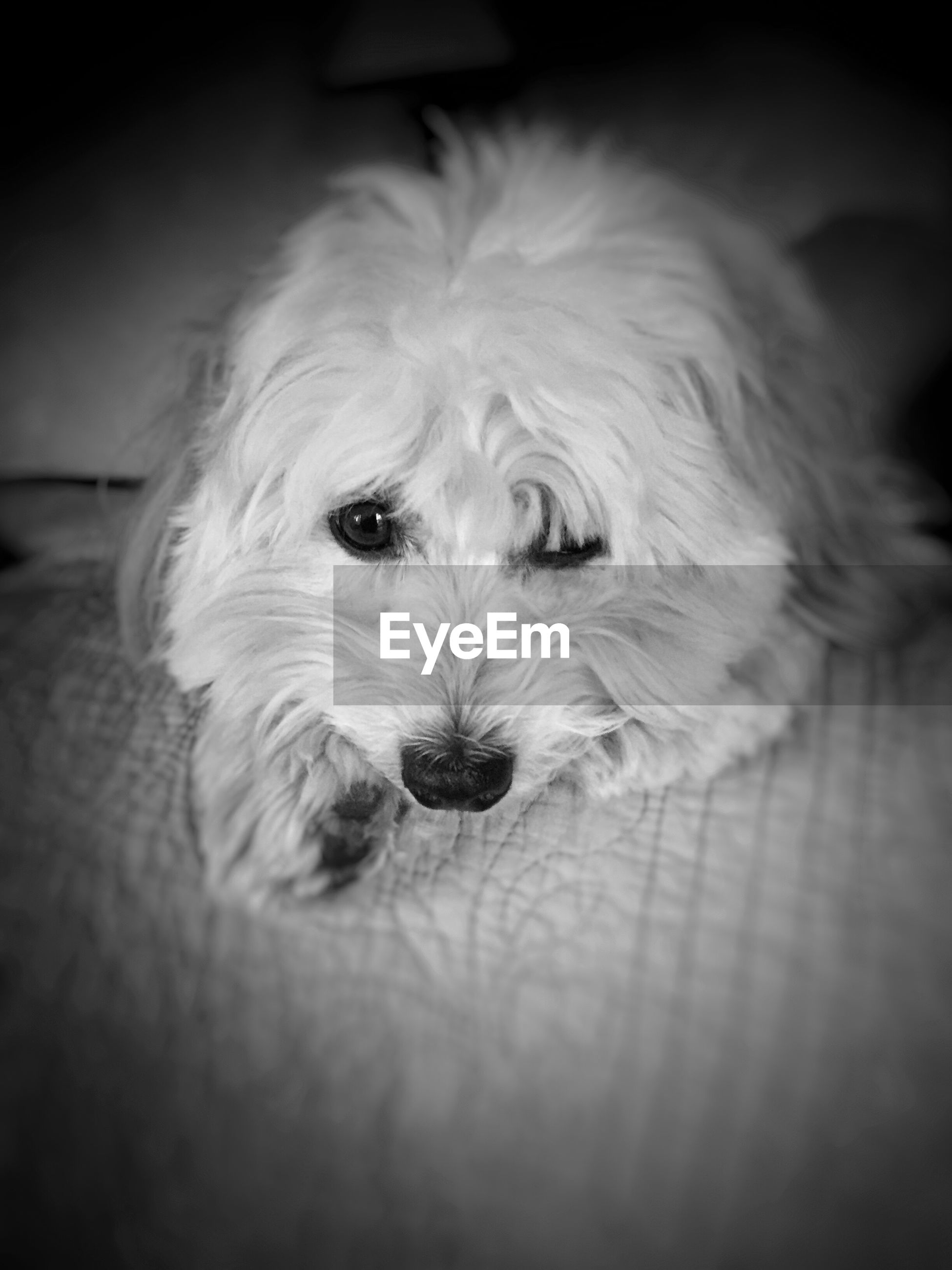 pets, domestic animals, dog, animal themes, one animal, mammal, indoors, animal head, close-up, portrait, animal hair, looking at camera, animal body part, loyalty, snout, cute, white color, pampered pets, home interior, relaxation