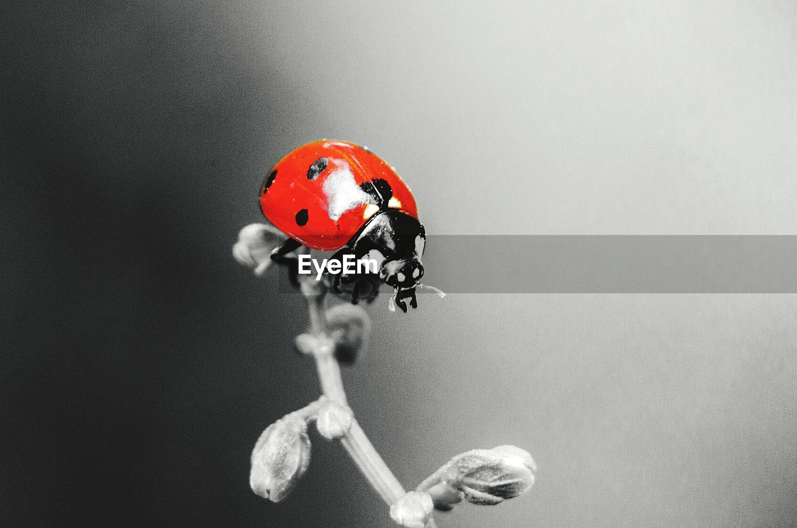 ladybug, close-up, studio shot, beetle, no people, indoors, copy space, focus on foreground, insect, nature, orange color, invertebrate, still life, day, animal wildlife, single object, representation