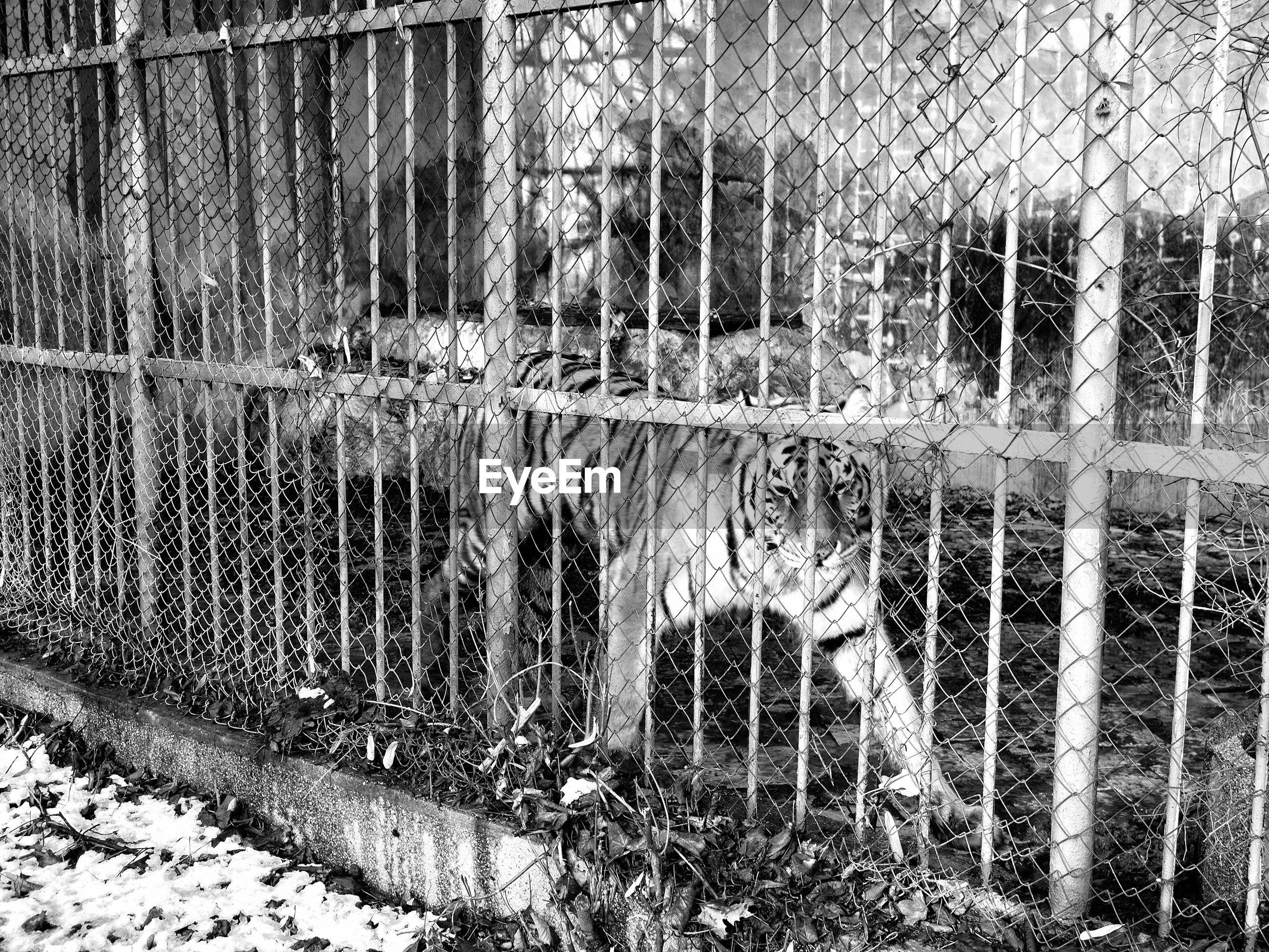 Tiger in cage at zoo