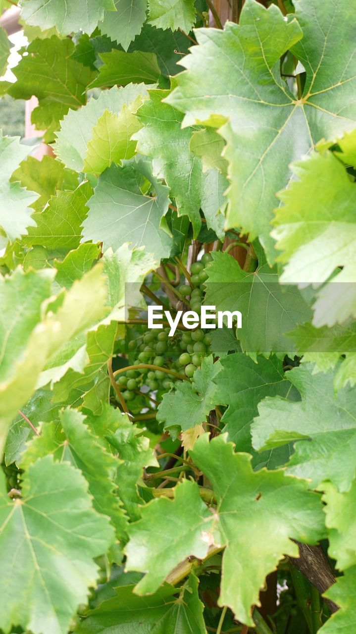 leaf, green color, food and drink, growth, nature, plant, no people, food, healthy eating, fruit, close-up, outdoors, day, freshness, beauty in nature