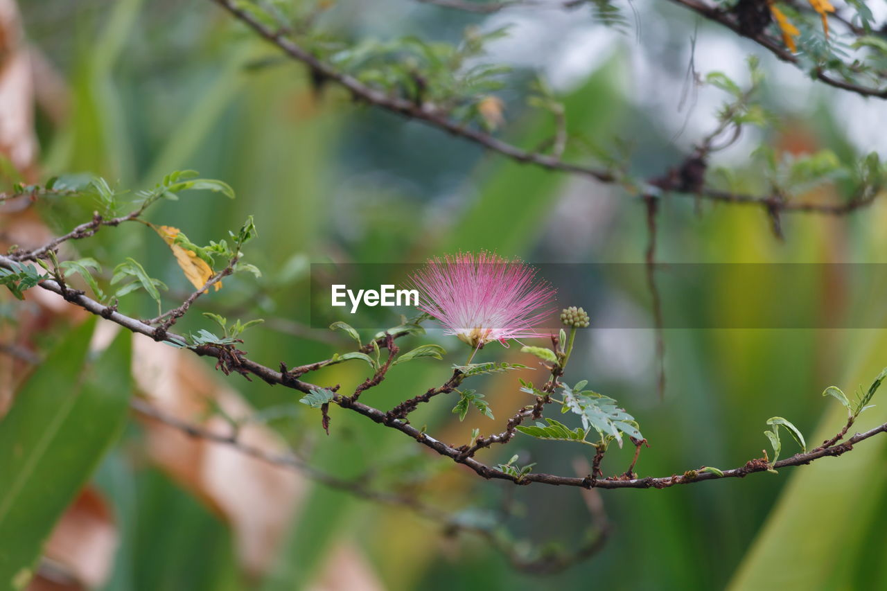 plant, flower, flowering plant, freshness, fragility, beauty in nature, growth, vulnerability, close-up, focus on foreground, pink color, petal, flower head, inflorescence, nature, no people, day, selective focus, green color, outdoors, purple, sepal