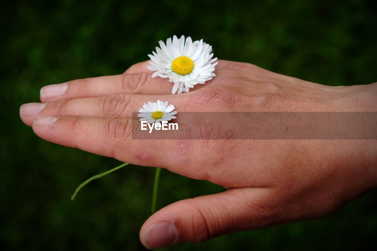 flower, flowering plant, hand, human hand, plant, human body part, freshness, fragility, real people, one person, flower head, vulnerability, close-up, holding, inflorescence, beauty in nature, petal, nature, white color, lifestyles, outdoors, pollen, finger, human limb