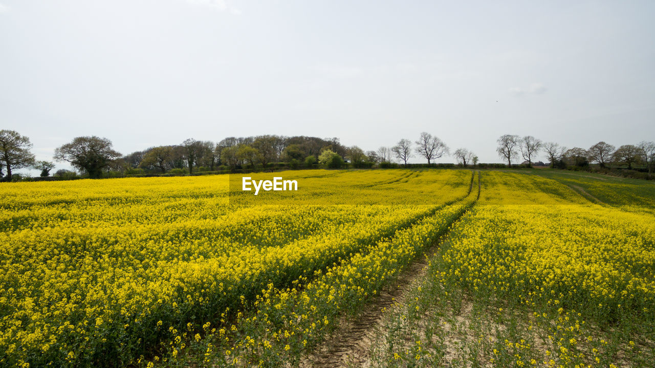 agriculture, field, nature, beauty in nature, yellow, landscape, rural scene, tranquil scene, tranquility, farm, scenics, crop, growth, cultivated land, no people, day, oilseed rape, outdoors, tree, sky, mustard plant, flower, freshness