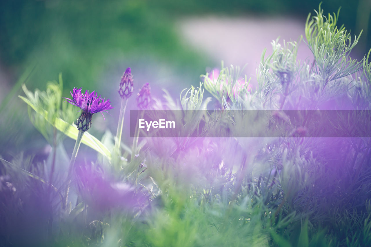 flower, flowering plant, plant, growth, freshness, beauty in nature, vulnerability, fragility, selective focus, close-up, petal, nature, purple, day, land, field, pink color, flower head, no people, inflorescence, softness
