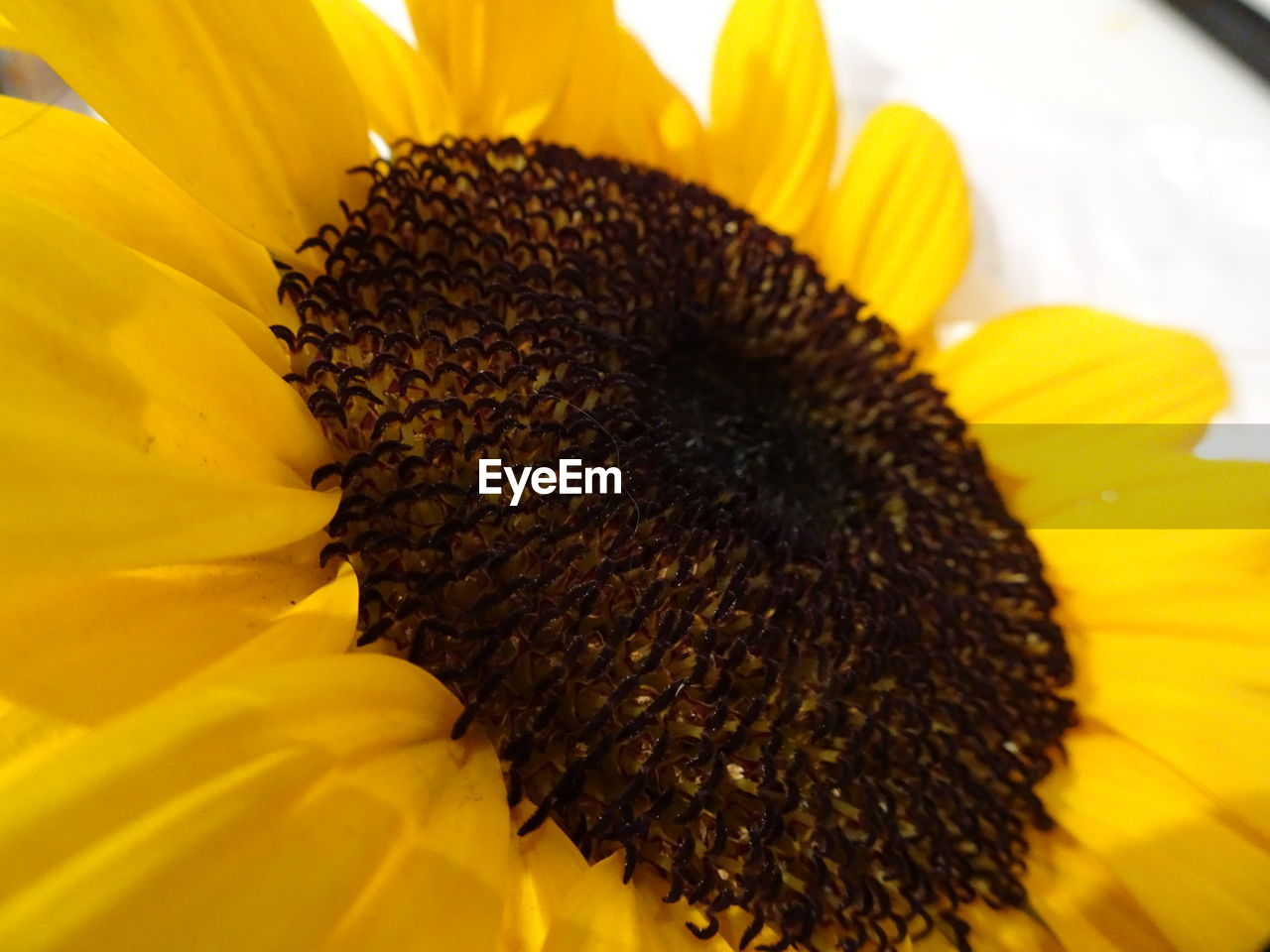 flower, petal, yellow, beauty in nature, nature, fragility, flower head, freshness, pollen, growth, close-up, no people, sunflower, day, outdoors, blooming, animal themes
