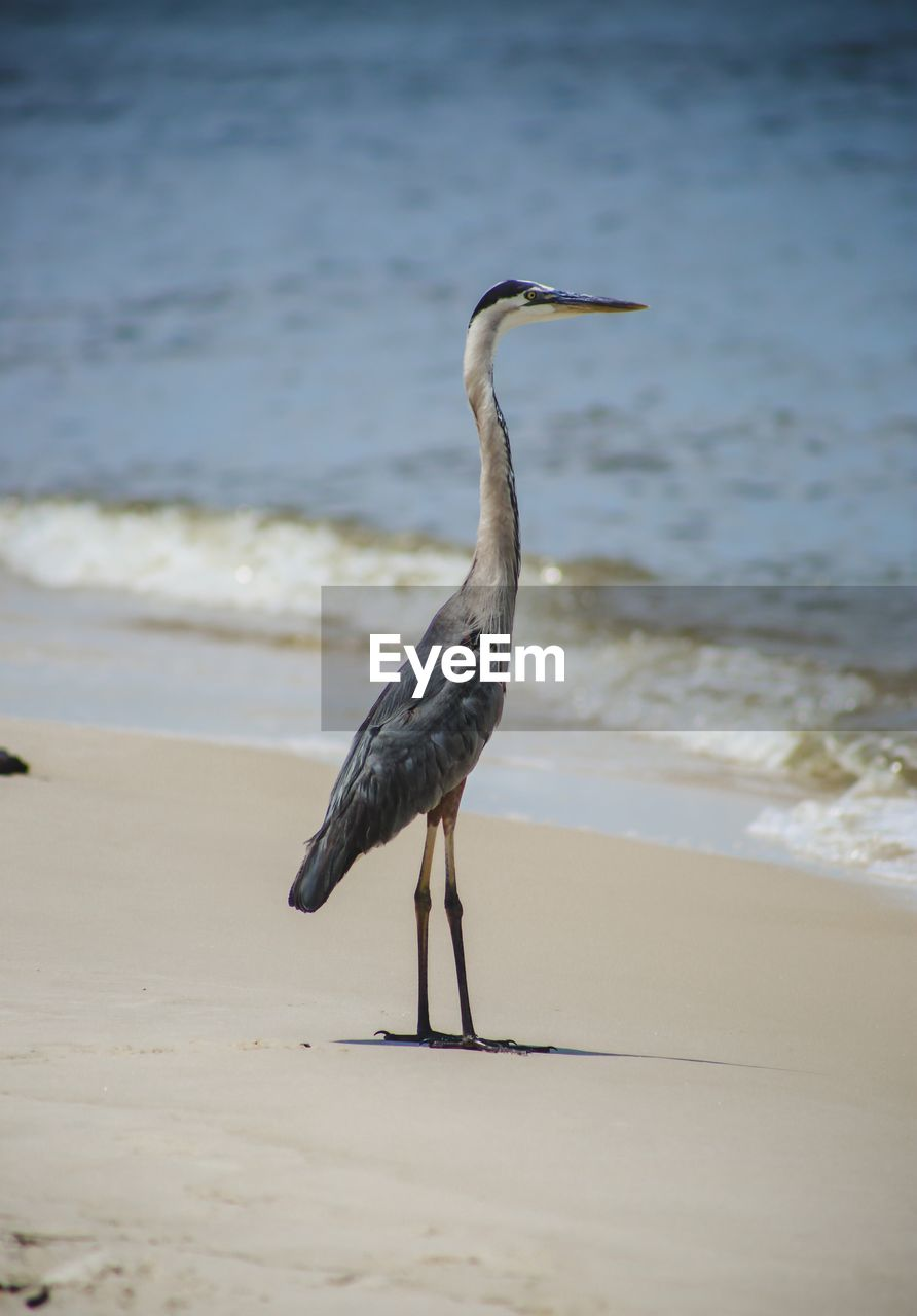 beach, water, sea, animals in the wild, one animal, animal wildlife, animal themes, land, animal, bird, vertebrate, sand, nature, day, full length, no people, perching, focus on foreground, wave