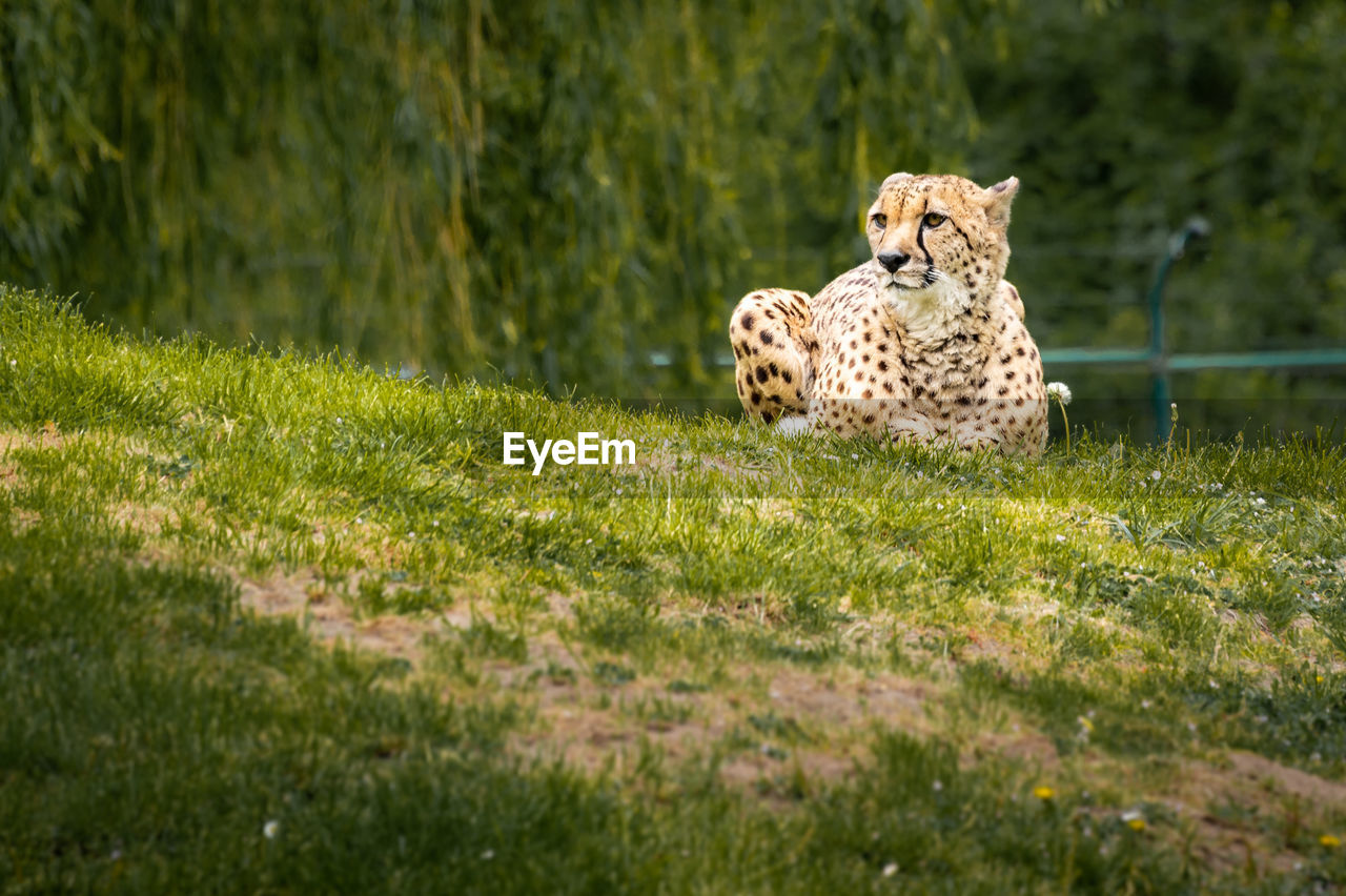 animal, mammal, animal themes, grass, plant, animal wildlife, animals in the wild, one animal, feline, vertebrate, green color, cheetah, cat, domestic animals, big cat, nature, selective focus, day, pets, no people, outdoors