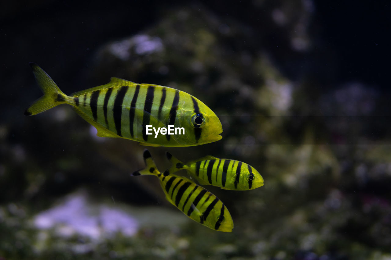 Close-Up Of Striped Fish Swimming Undersea
