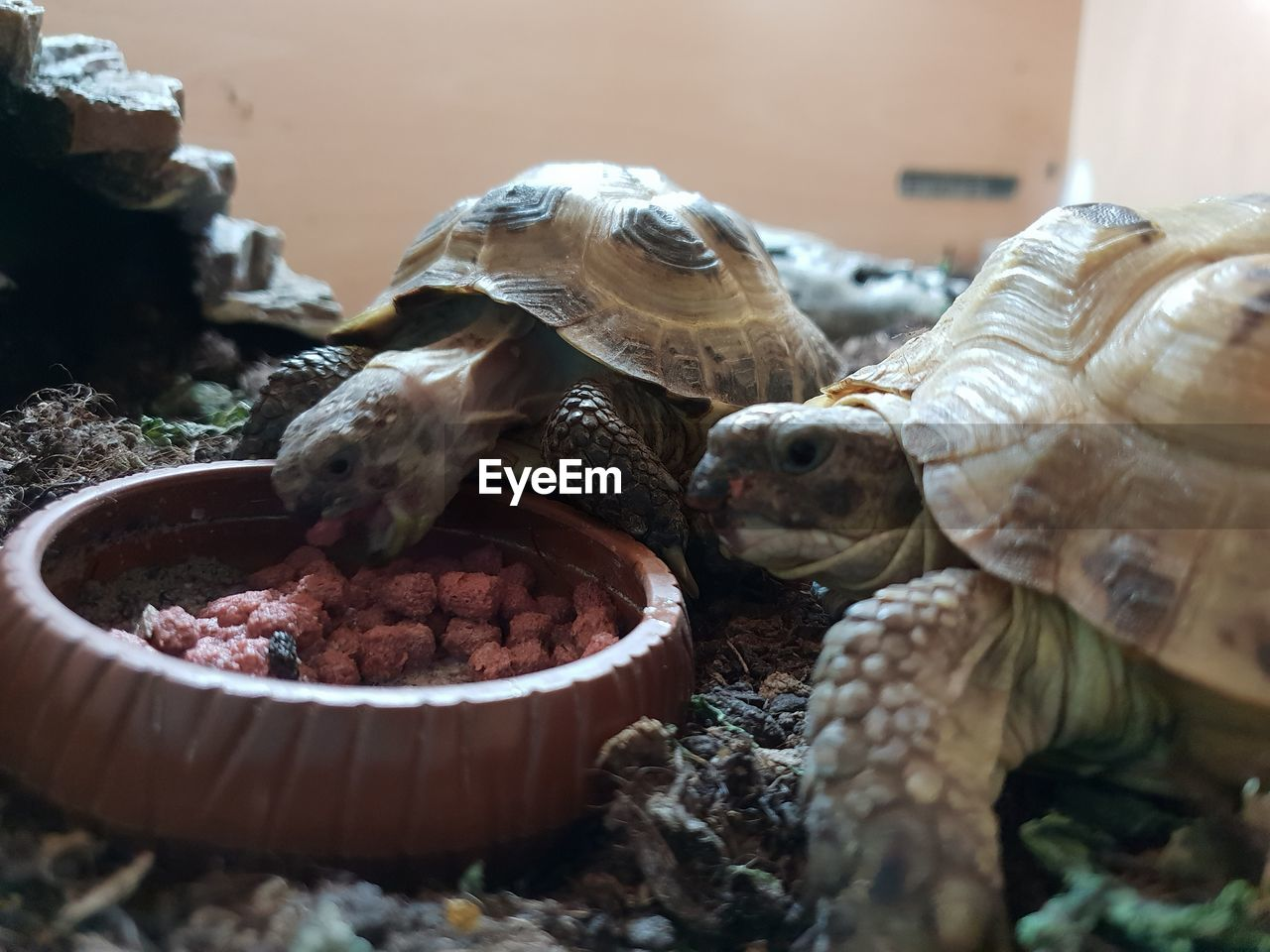 animal, animal themes, animal wildlife, shell, turtle, group of animals, animals in the wild, animal shell, reptile, close-up, selective focus, vertebrate, no people, day, nature, food, food and drink, outdoors, tortoise, medium group of animals, marine