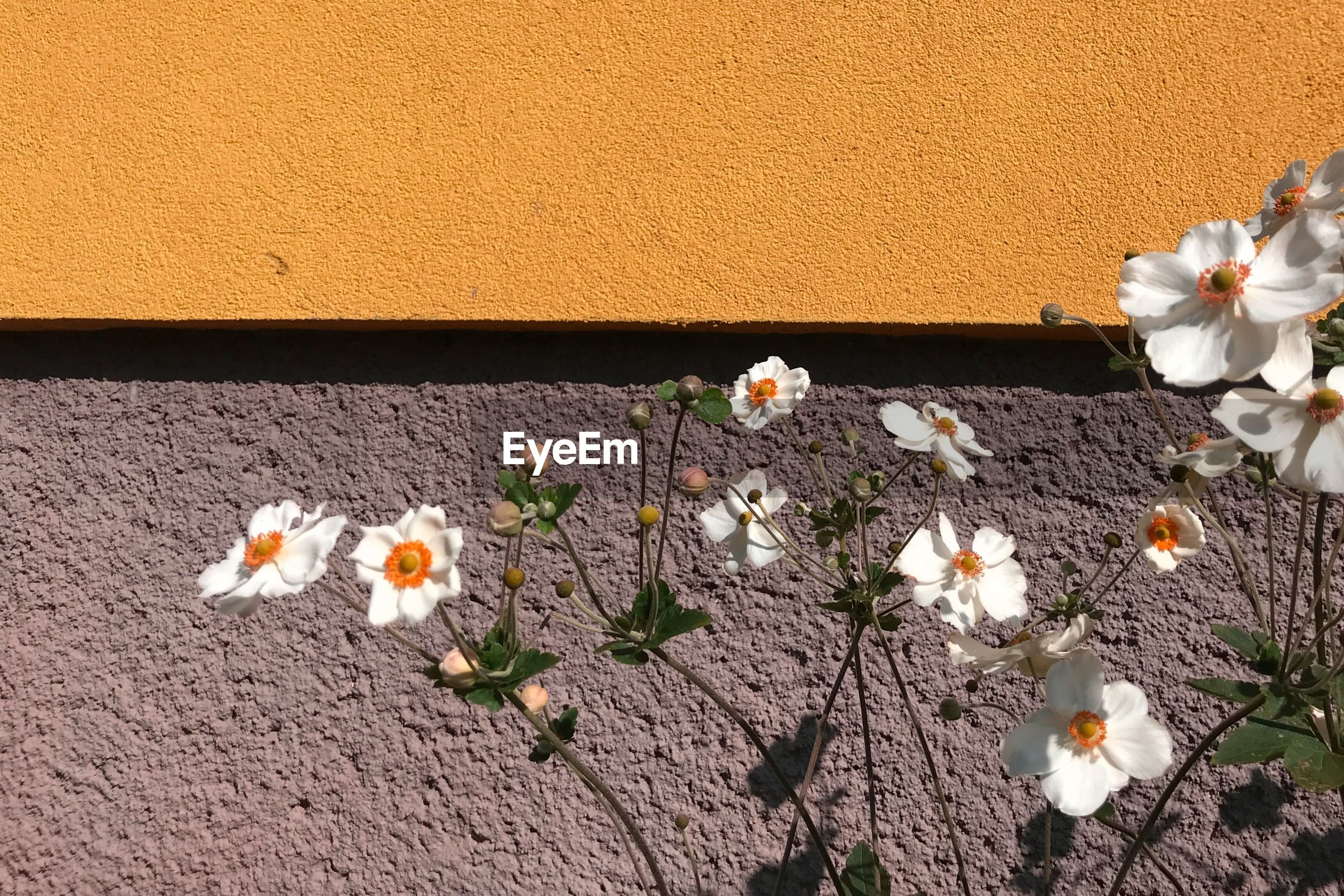 CLOSE-UP OF WHITE FLOWERS ON WALL