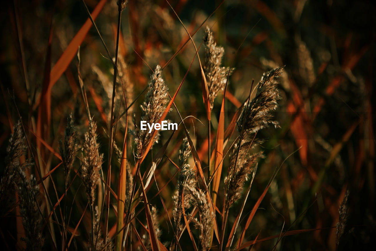 growth, plant, close-up, nature, focus on foreground, no people, beauty in nature, day, tranquility, land, field, selective focus, outdoors, crop, brown, grass, sunlight, cereal plant, agriculture, dry, wilted plant