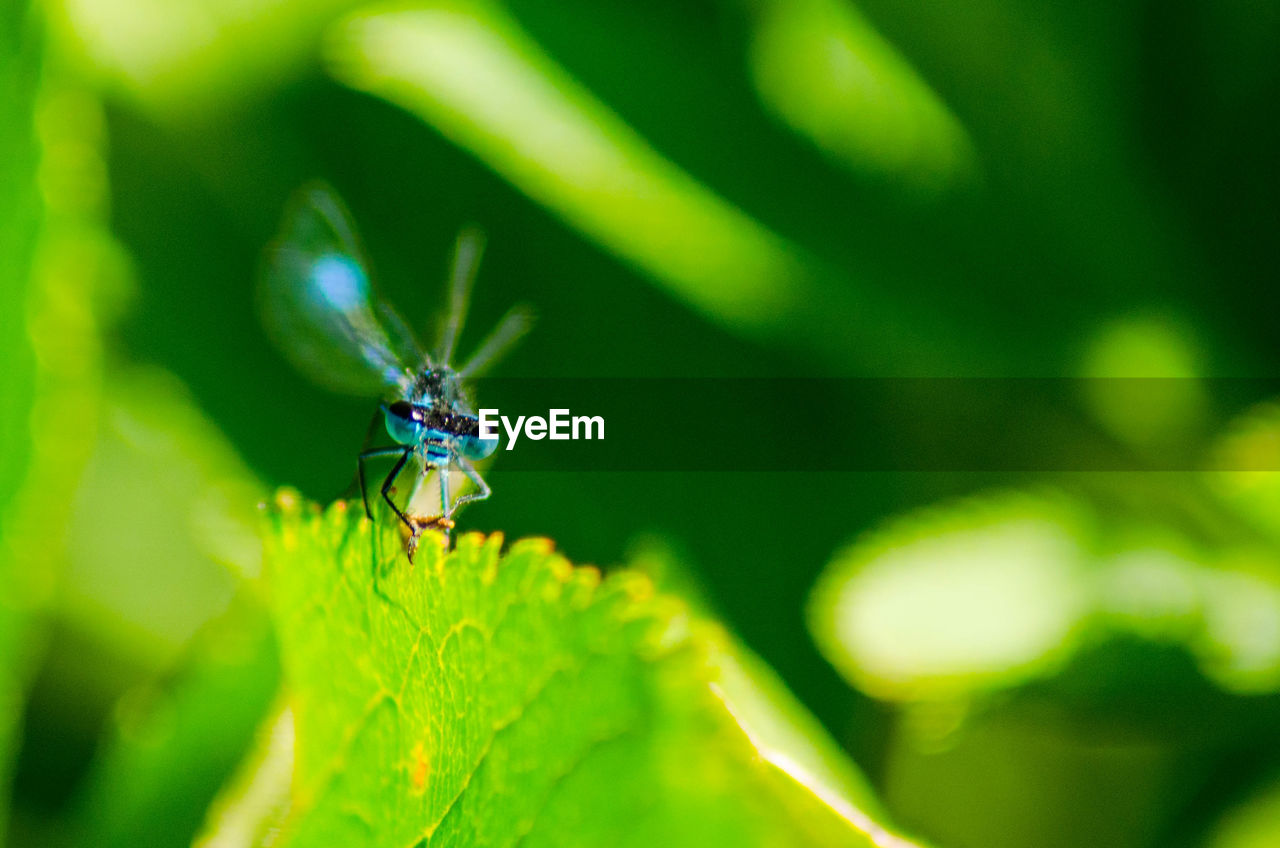 invertebrate, insect, green color, animal themes, animals in the wild, one animal, animal wildlife, close-up, animal, plant part, plant, leaf, selective focus, day, nature, no people, growth, focus on foreground, beauty in nature, animal wing, blade of grass