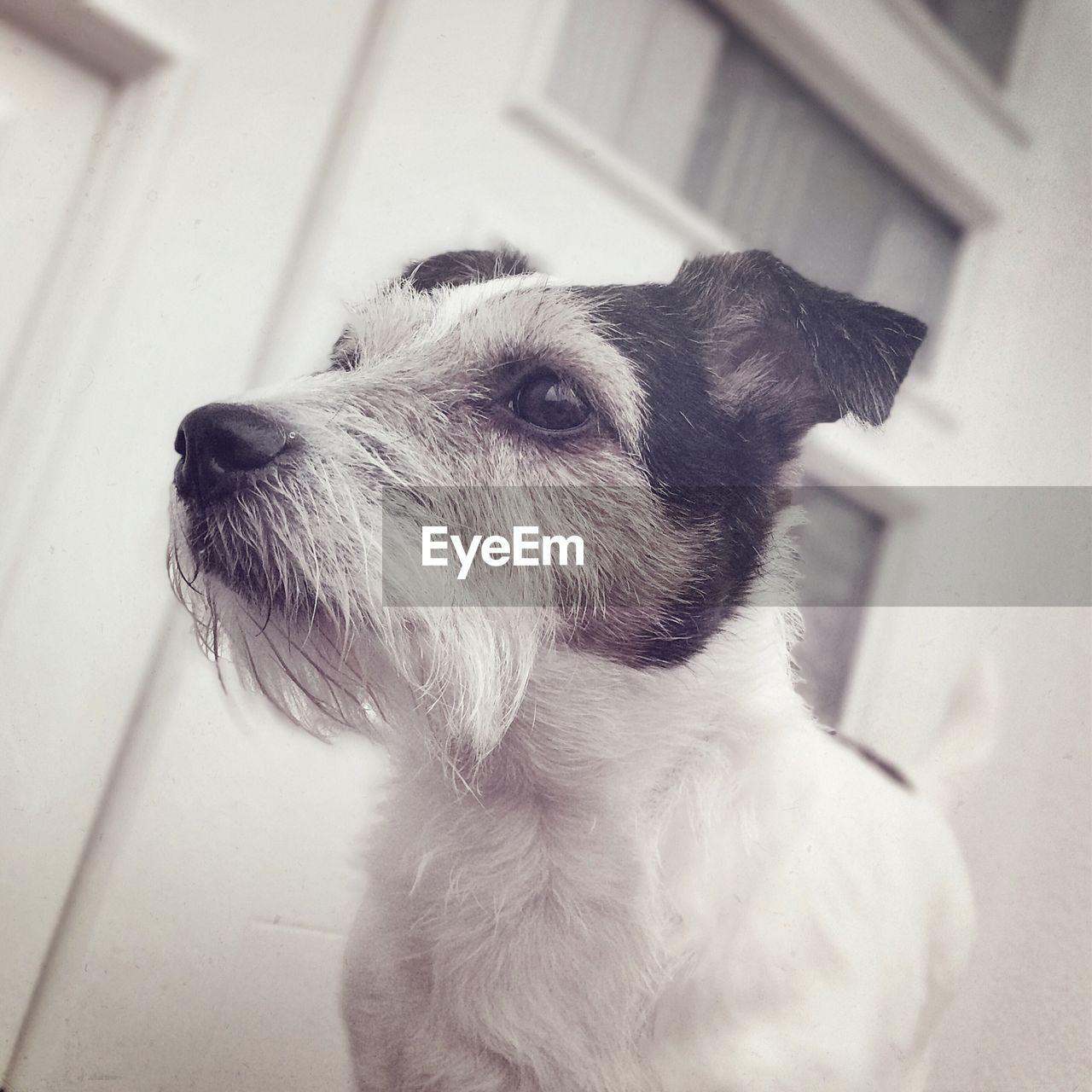 Jack russell terrier standing against building