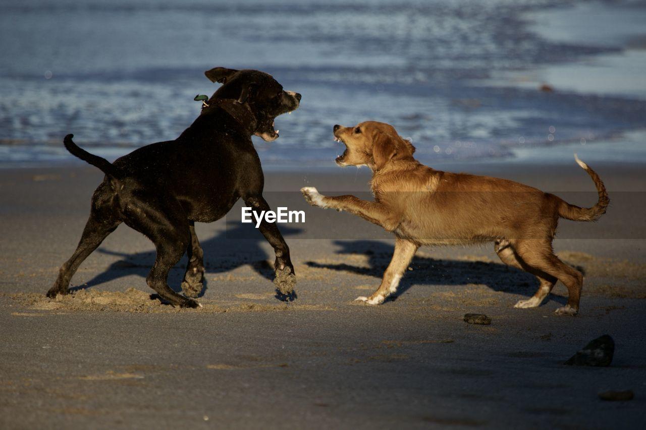 animal themes, mammal, animal, canine, dog, pets, domestic, domestic animals, group of animals, two animals, vertebrate, land, running, no people, beach, side view, nature, sand, motion