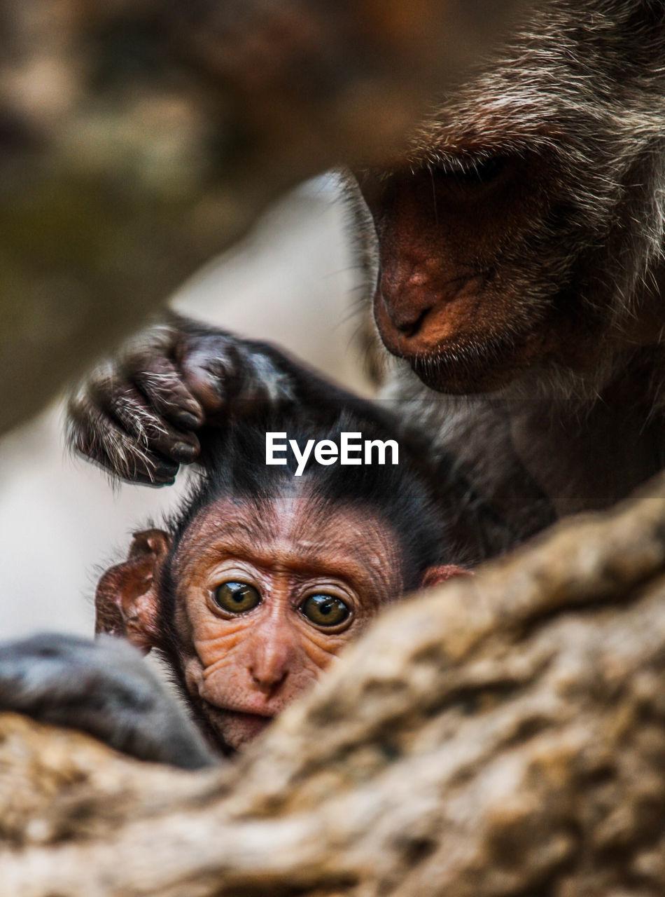 Close-Up Of Orangutans