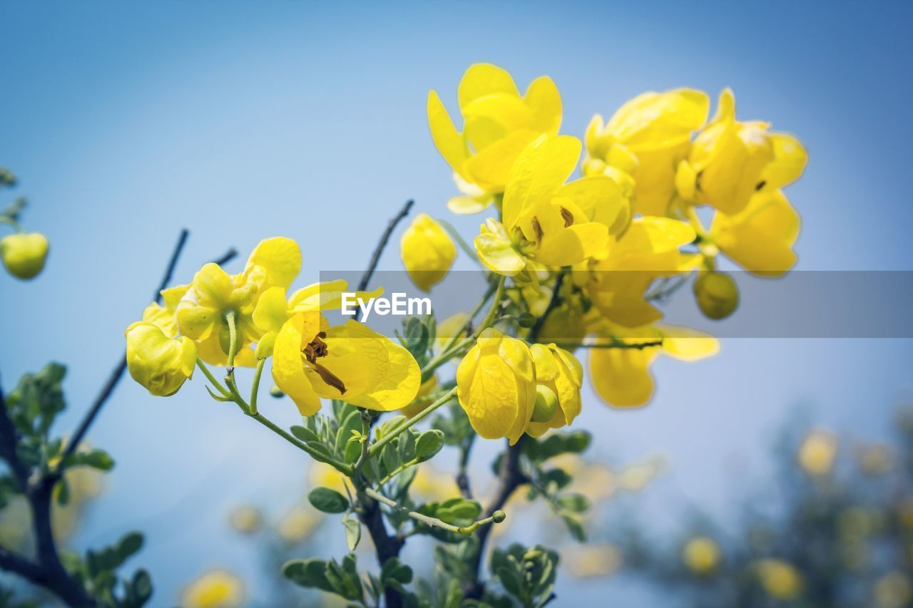 yellow, flower, beauty in nature, oilseed rape, nature, fragility, petal, mustard plant, growth, springtime, freshness, plant, blossom, botany, vibrant color, selective focus, day, outdoors, field, no people, clear sky, close-up, blooming, flower head, sky