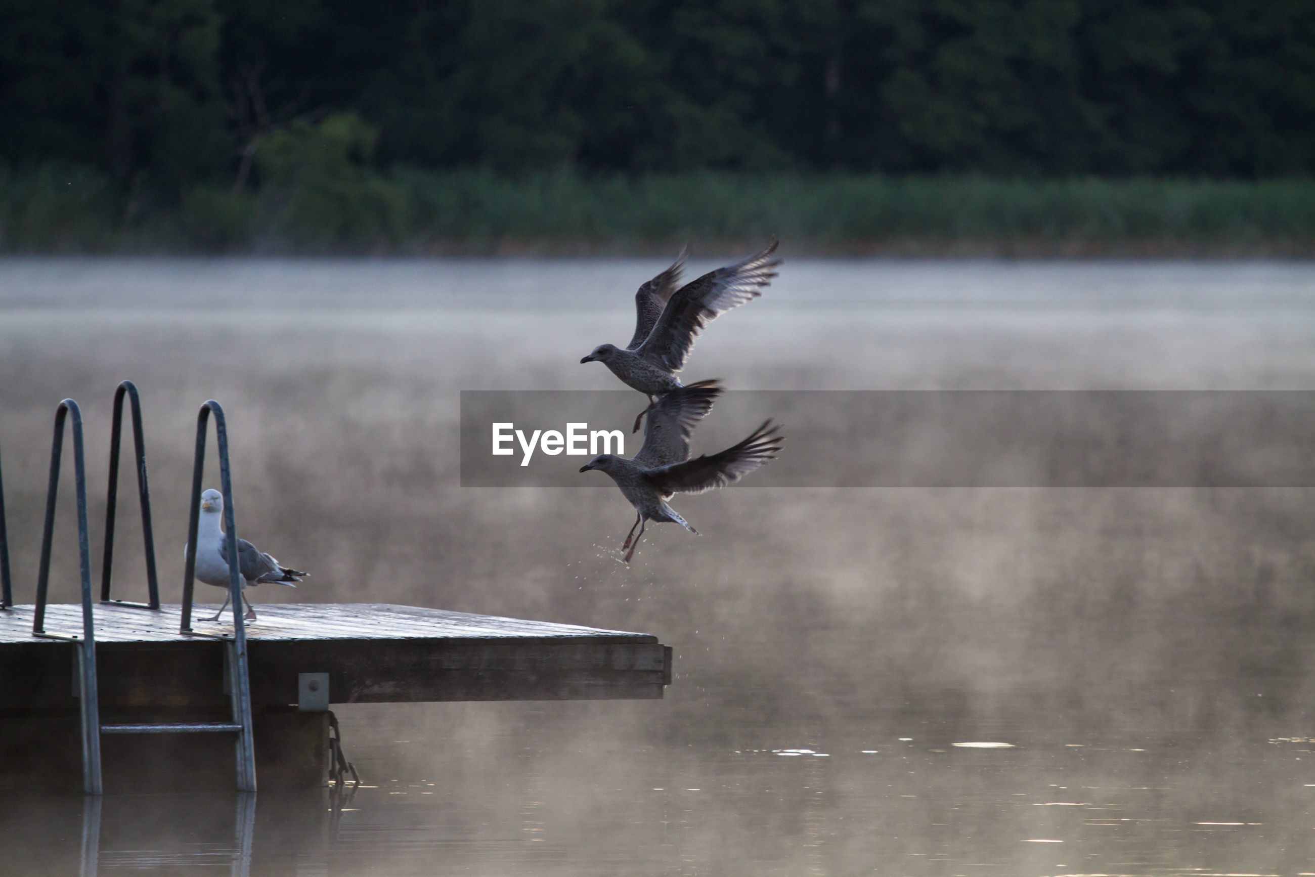 Seagulls landing on pier over lake during foggy weather