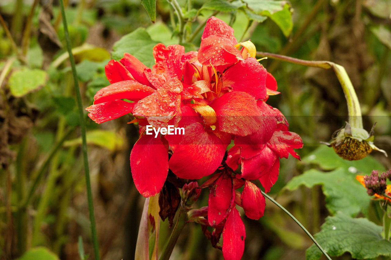 growth, beauty in nature, flower, nature, plant, focus on foreground, red, petal, flower head, day, outdoors, no people, fragility, close-up, freshness, blooming