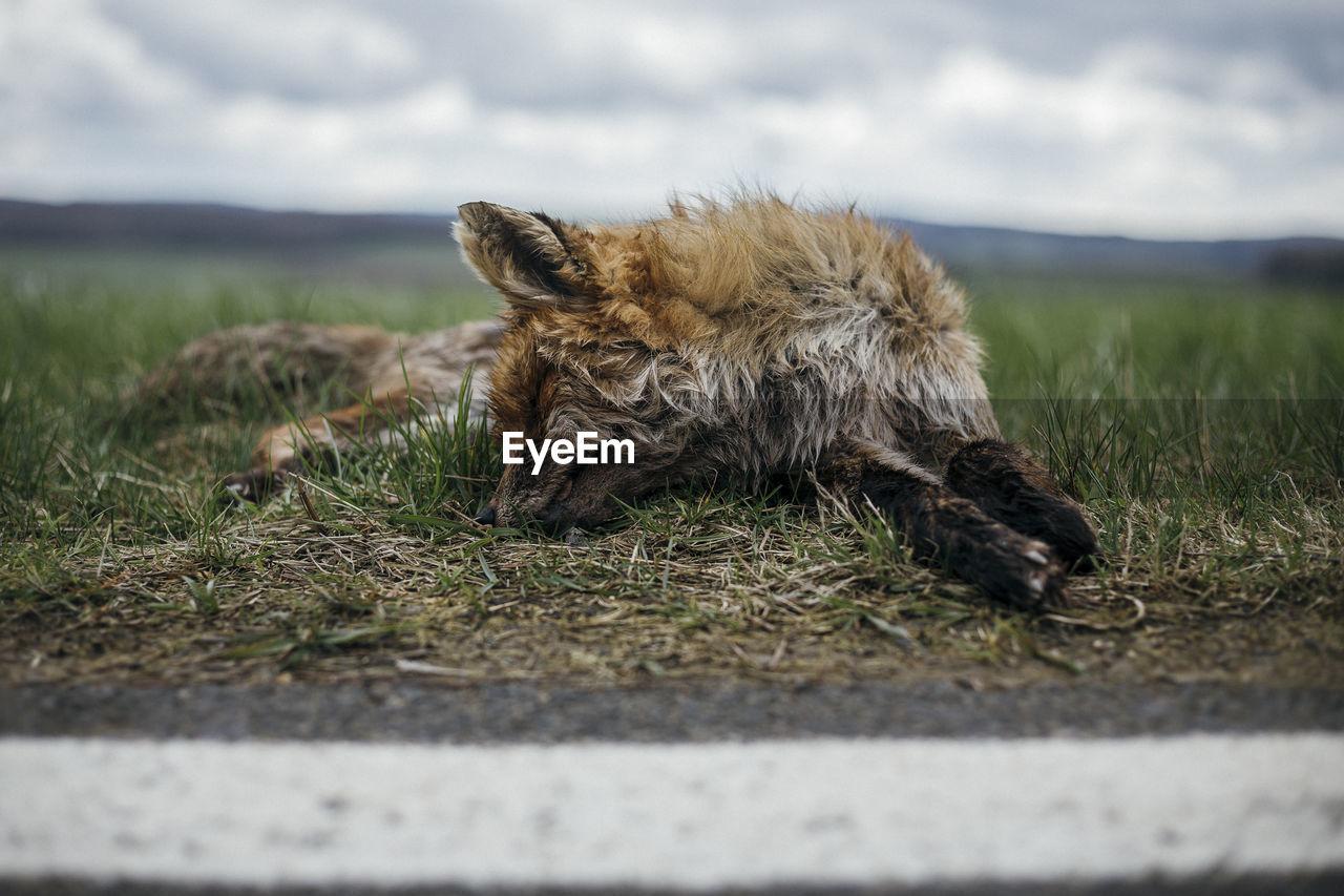 Dead fox on roadside against sky