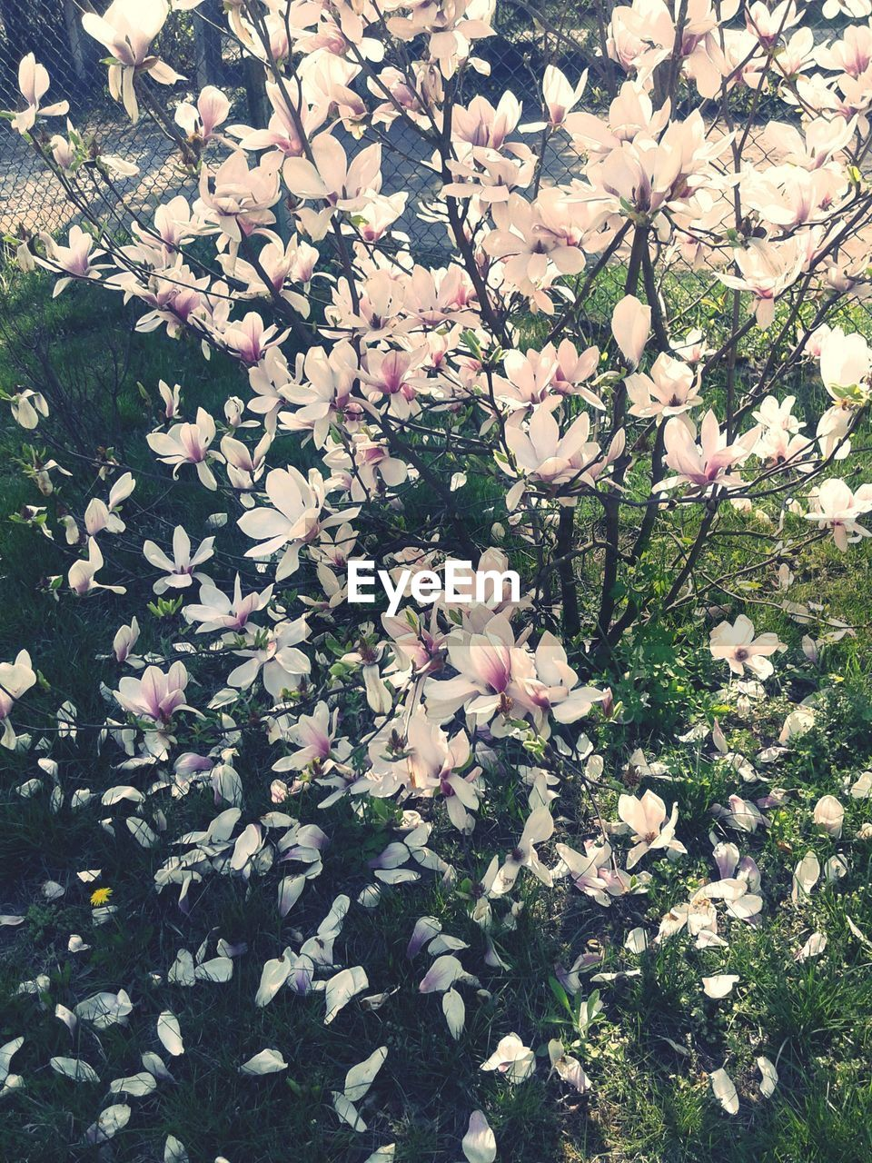 flower, growth, nature, fragility, blossom, beauty in nature, white color, petal, freshness, tree, blooming, springtime, no people, day, pink color, spring, outdoors, flower head, close-up