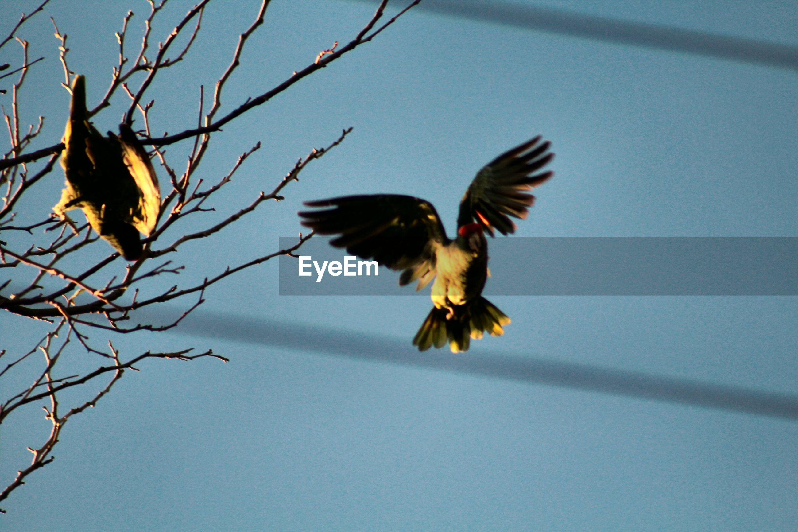 bird, animal themes, flying, animals in the wild, one animal, spread wings, wildlife, clear sky, low angle view, nature, zoology, blue, mid-air, branch, beauty in nature, outdoors, flight, day, focus on foreground, no people