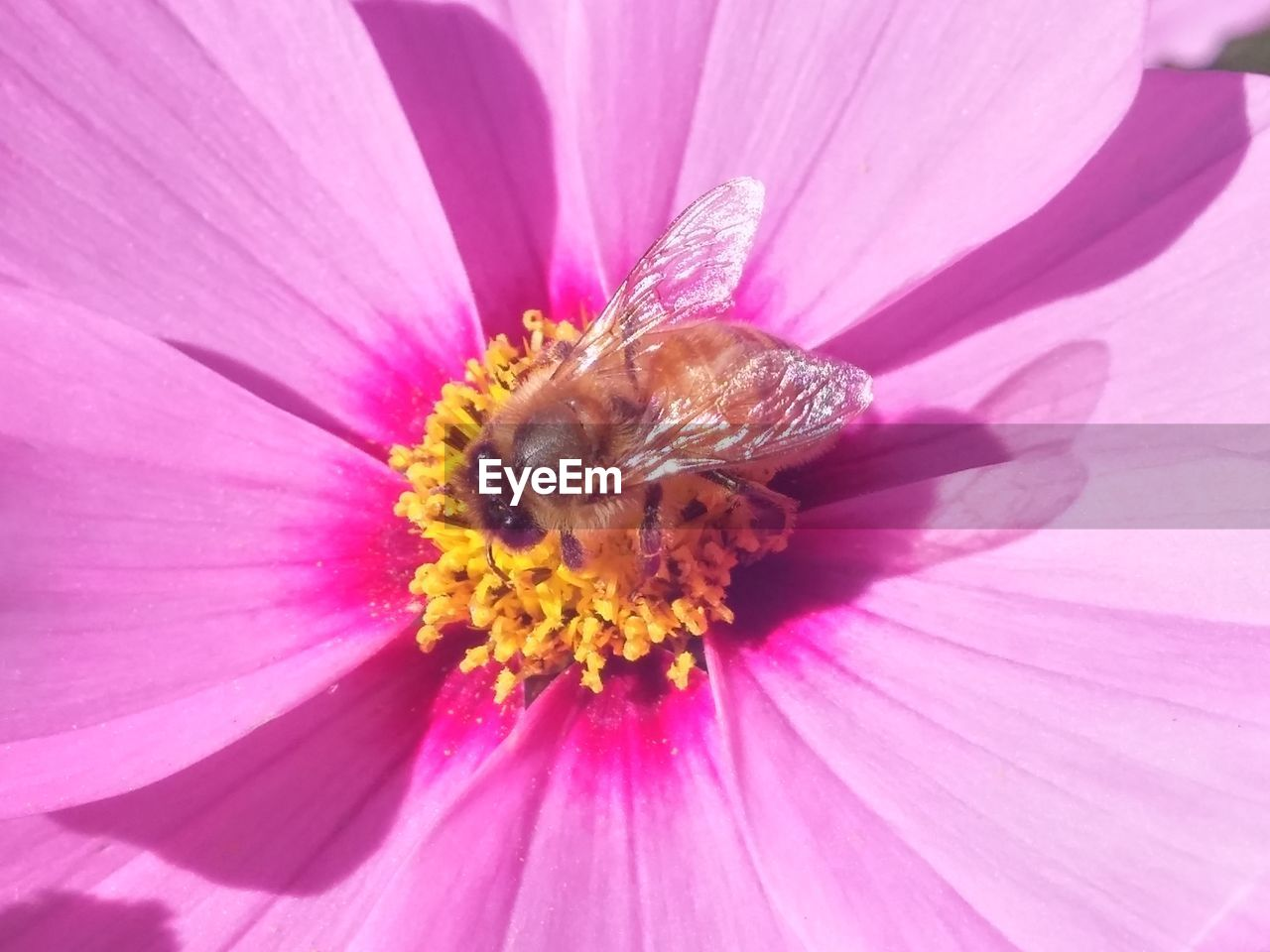 flower, one animal, insect, petal, animal themes, fragility, nature, pollen, flower head, animals in the wild, wildlife, no people, beauty in nature, plant, outdoors, freshness, pink color, close-up, day, bee, growth, pollination