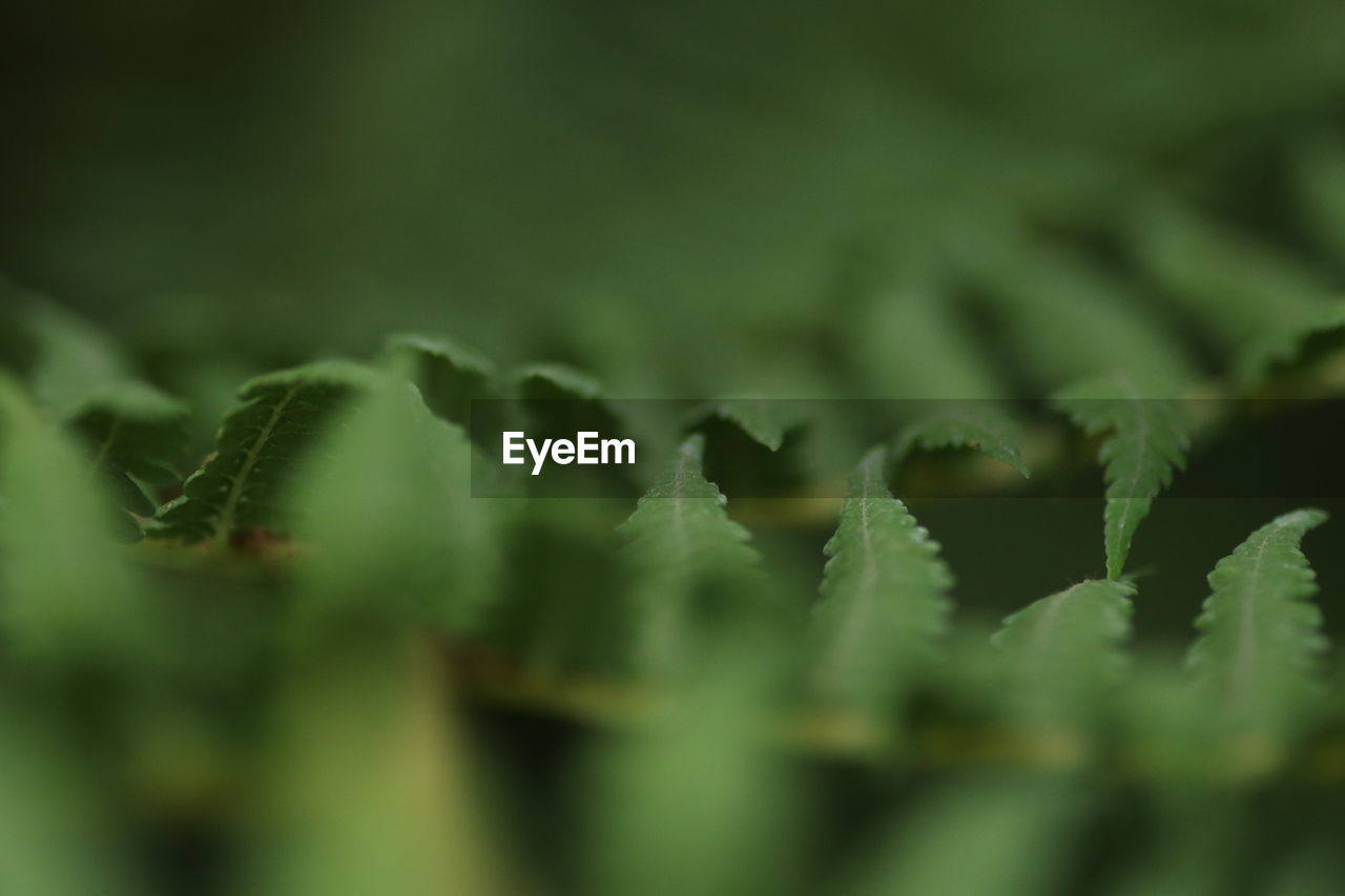green color, growth, nature, selective focus, plant, close-up, no people, leaf, beauty in nature, day, outdoors, fragility, freshness