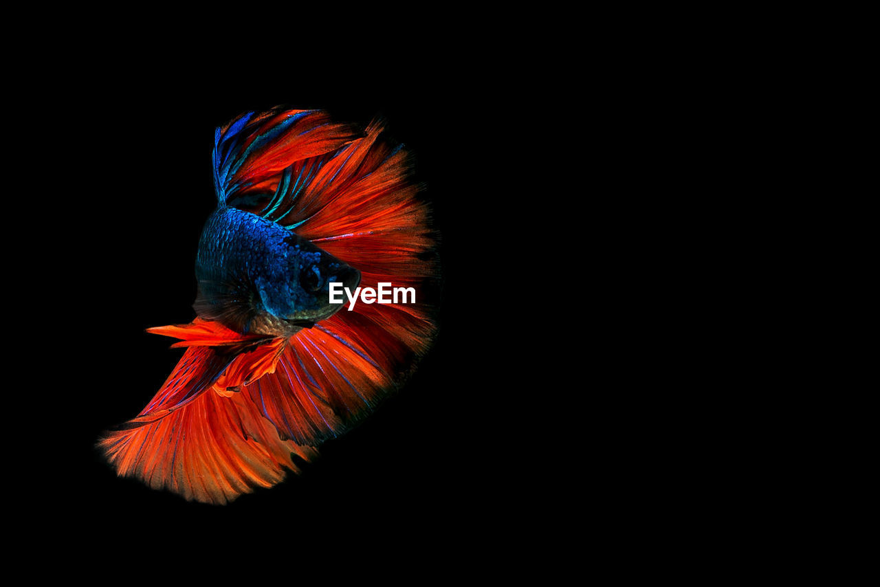 Close-up of siamese fighting fish over black background