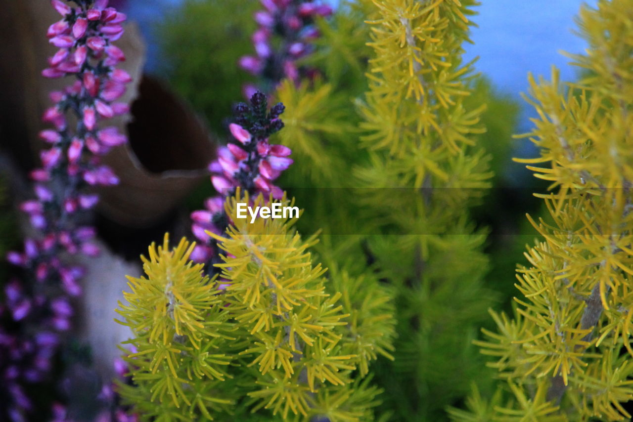 flowering plant, flower, plant, growth, beauty in nature, freshness, vulnerability, fragility, close-up, nature, green color, petal, day, selective focus, no people, flower head, purple, inflorescence, outdoors, leaf
