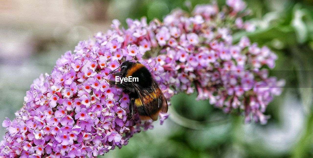 flower, flowering plant, animal themes, invertebrate, one animal, insect, animal, animals in the wild, fragility, vulnerability, beauty in nature, animal wildlife, plant, bee, freshness, petal, flower head, growth, close-up, pollination, purple, bumblebee, no people, outdoors, lilac