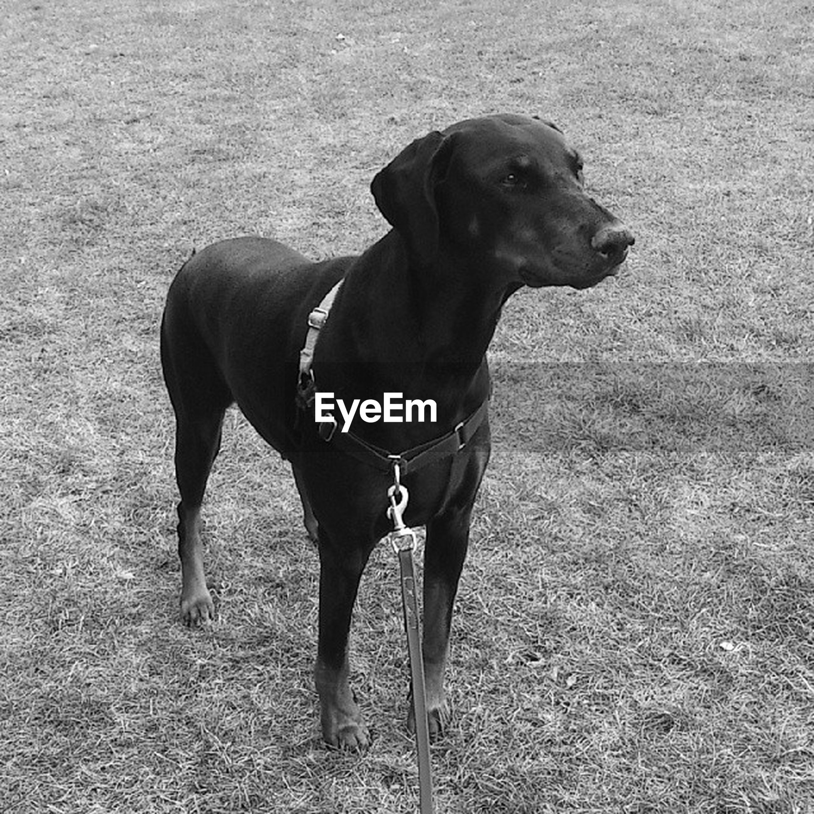 dog, domestic animals, pets, animal themes, mammal, one animal, pet collar, standing, pet leash, full length, high angle view, black color, field, no people, canine, looking at camera, loyalty, day, zoology, outdoors