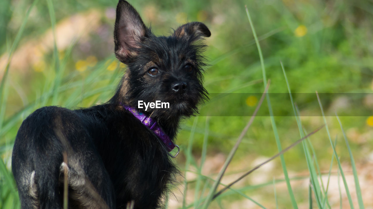 one animal, animal, animal themes, pets, mammal, domestic, domestic animals, canine, dog, vertebrate, grass, plant, no people, field, nature, black color, pet collar, focus on foreground, land, collar, small, animal head