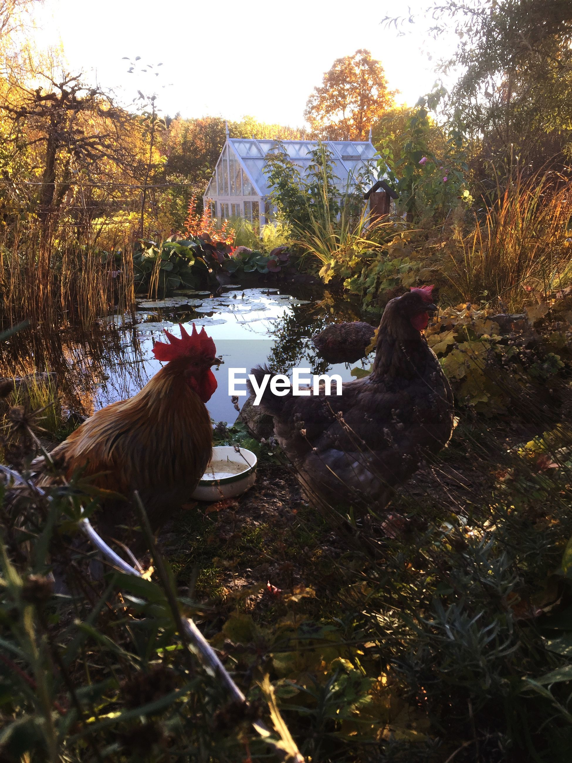 High angle view of hen and rooster by pond