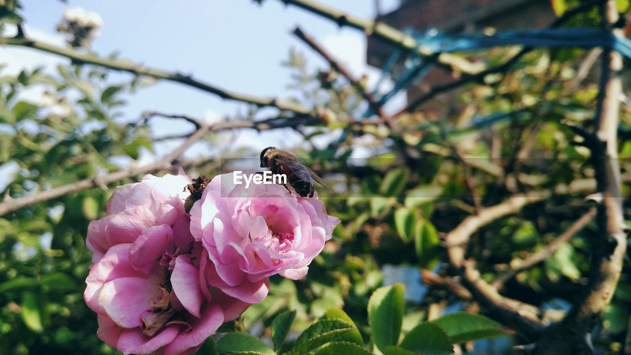 flower, one animal, animals in the wild, petal, animal themes, insect, nature, fragility, beauty in nature, growth, freshness, animal wildlife, day, outdoors, focus on foreground, bee, plant, flower head, pink color, no people, close-up, blooming, buzzing, pollination