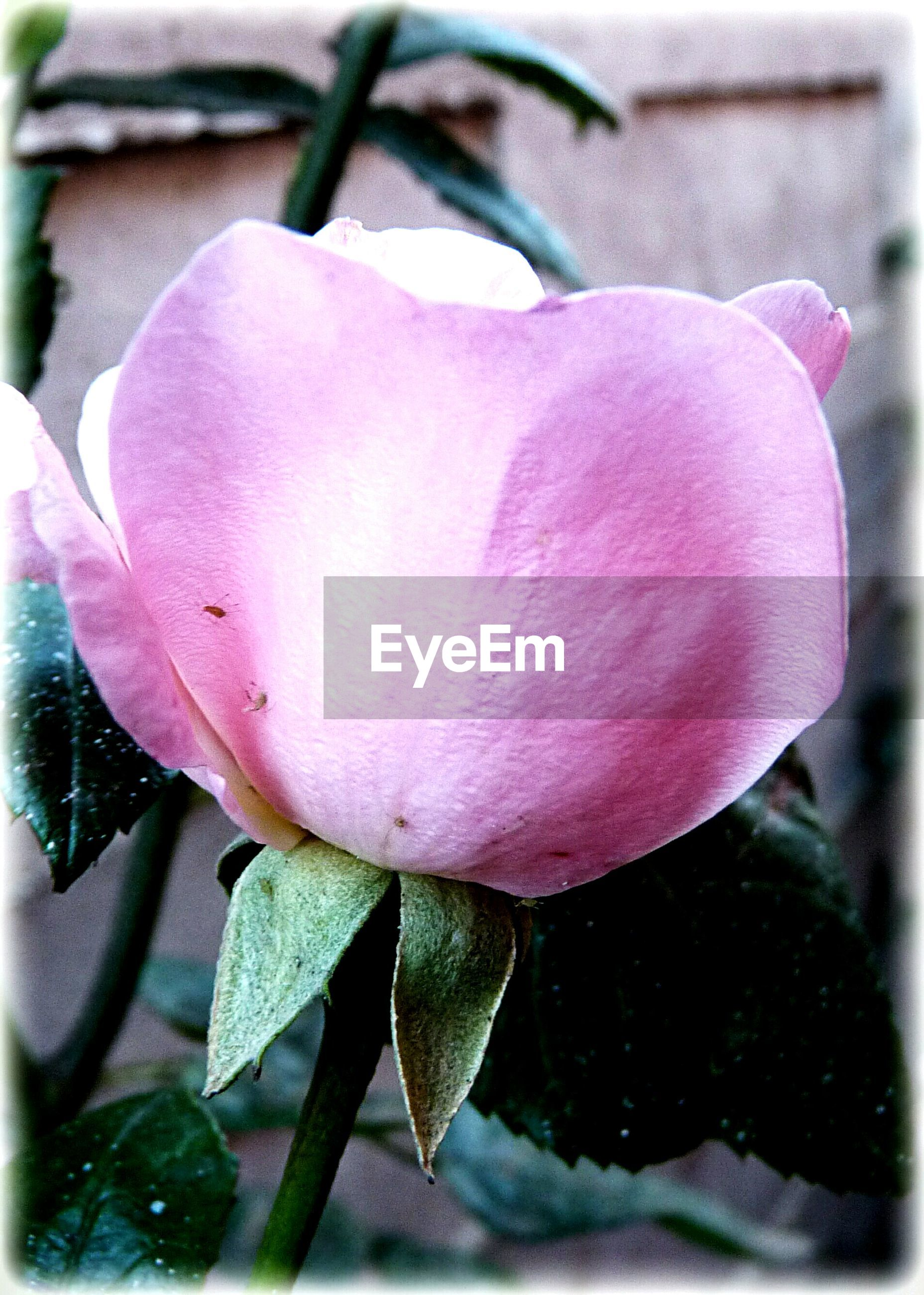 flower, petal, freshness, pink color, fragility, growth, close-up, flower head, beauty in nature, nature, focus on foreground, single flower, leaf, plant, blooming, water, pink, in bloom, rose - flower, blossom