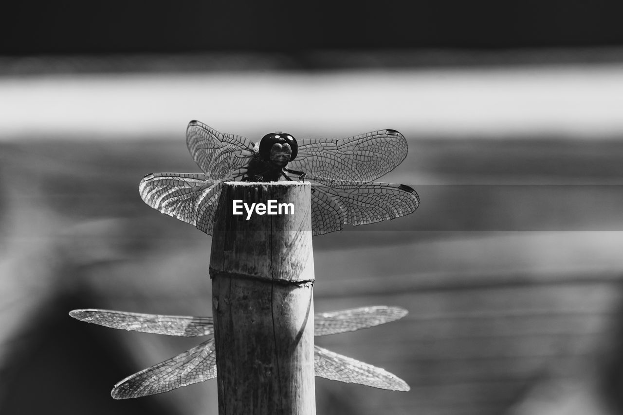 animal, animals in the wild, animal themes, animal wildlife, one animal, invertebrate, focus on foreground, dragonfly, insect, animal wing, close-up, wood - material, day, no people, nature, outdoors, post, zoology, beauty in nature, perching, wooden post, butterfly - insect