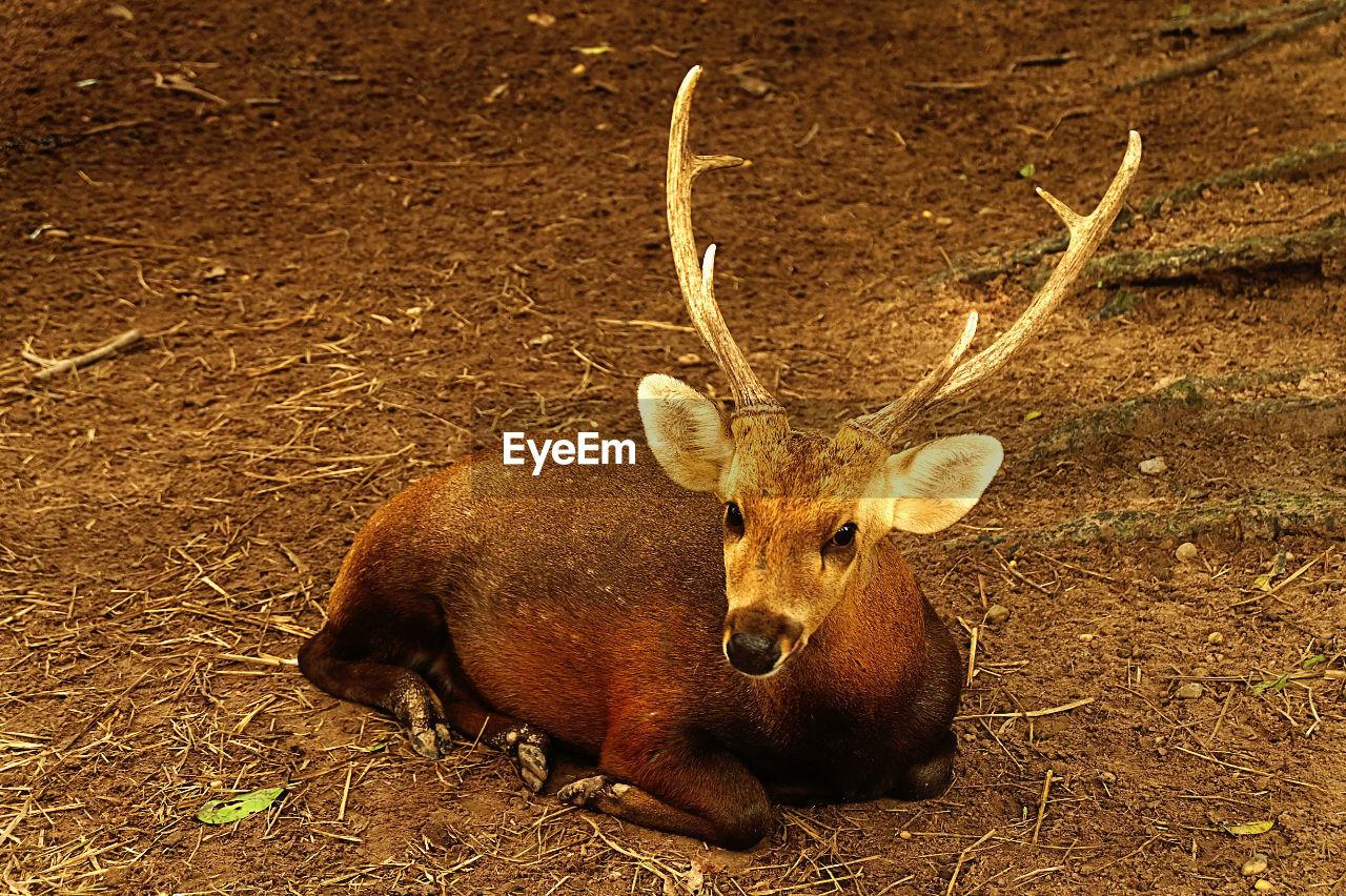 Portrait Of Deer Lying On Field