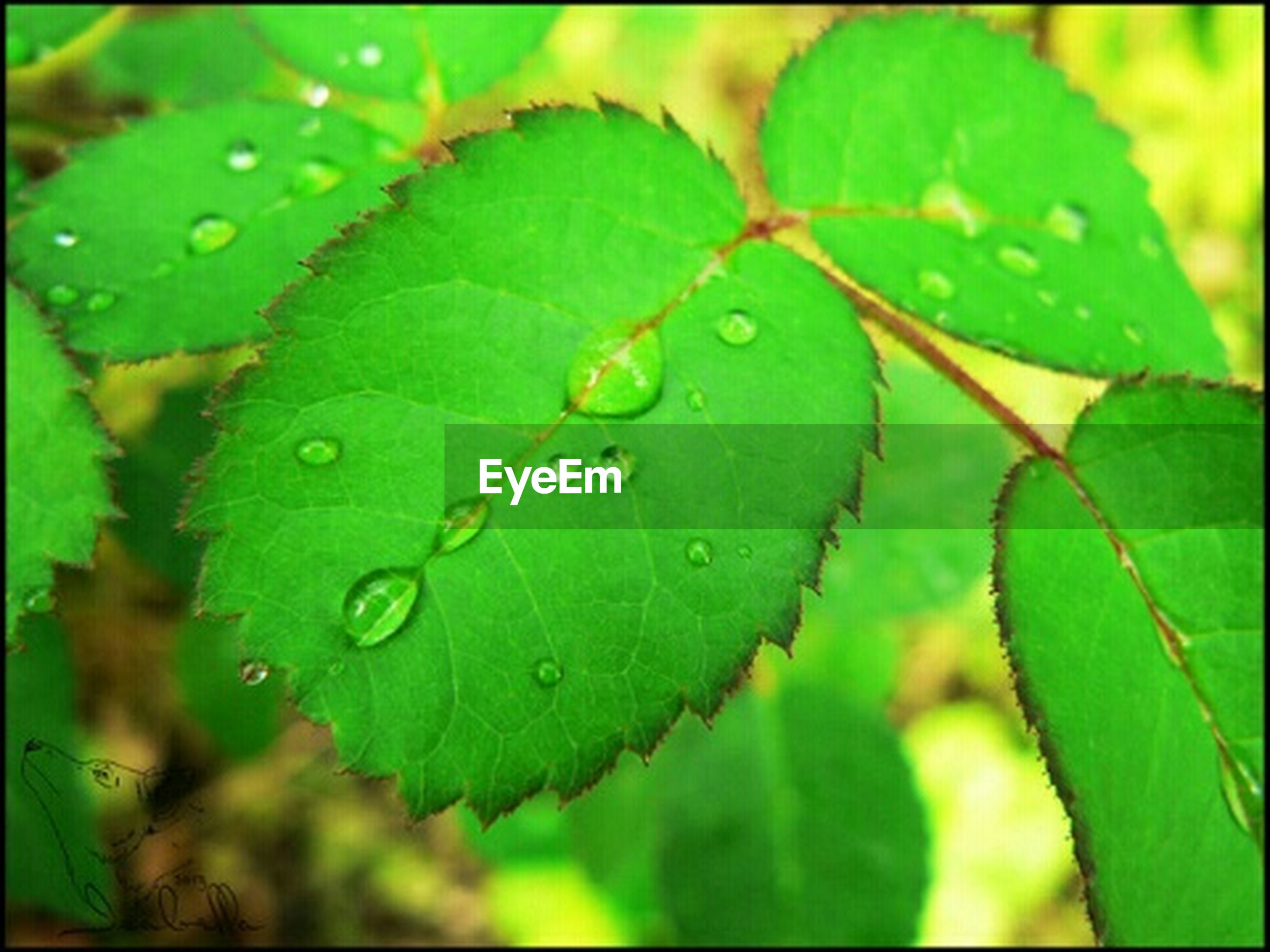 leaf, green color, leaf vein, close-up, growth, drop, water, freshness, nature, wet, focus on foreground, beauty in nature, plant, fragility, leaves, natural pattern, auto post production filter, transfer print, dew, green