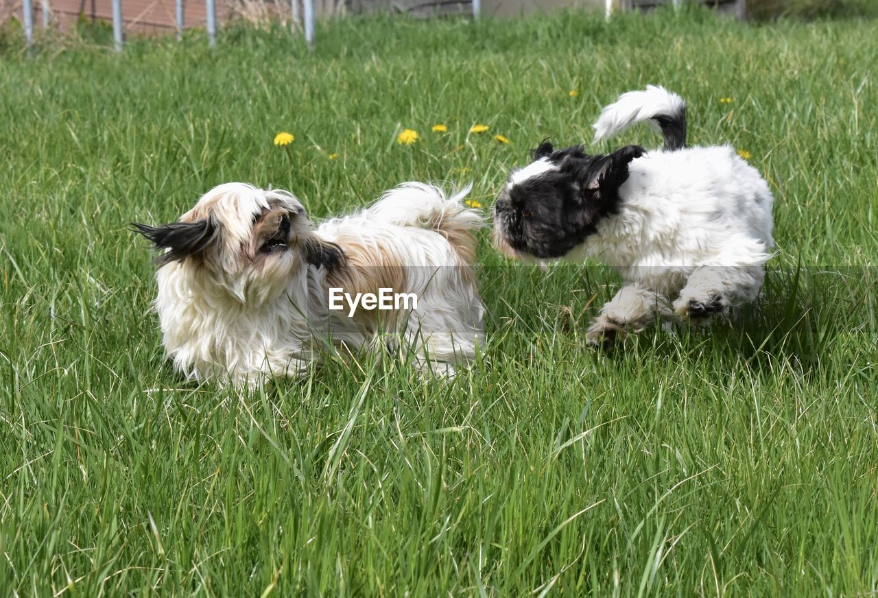 VIEW OF DOGS ON GRASS