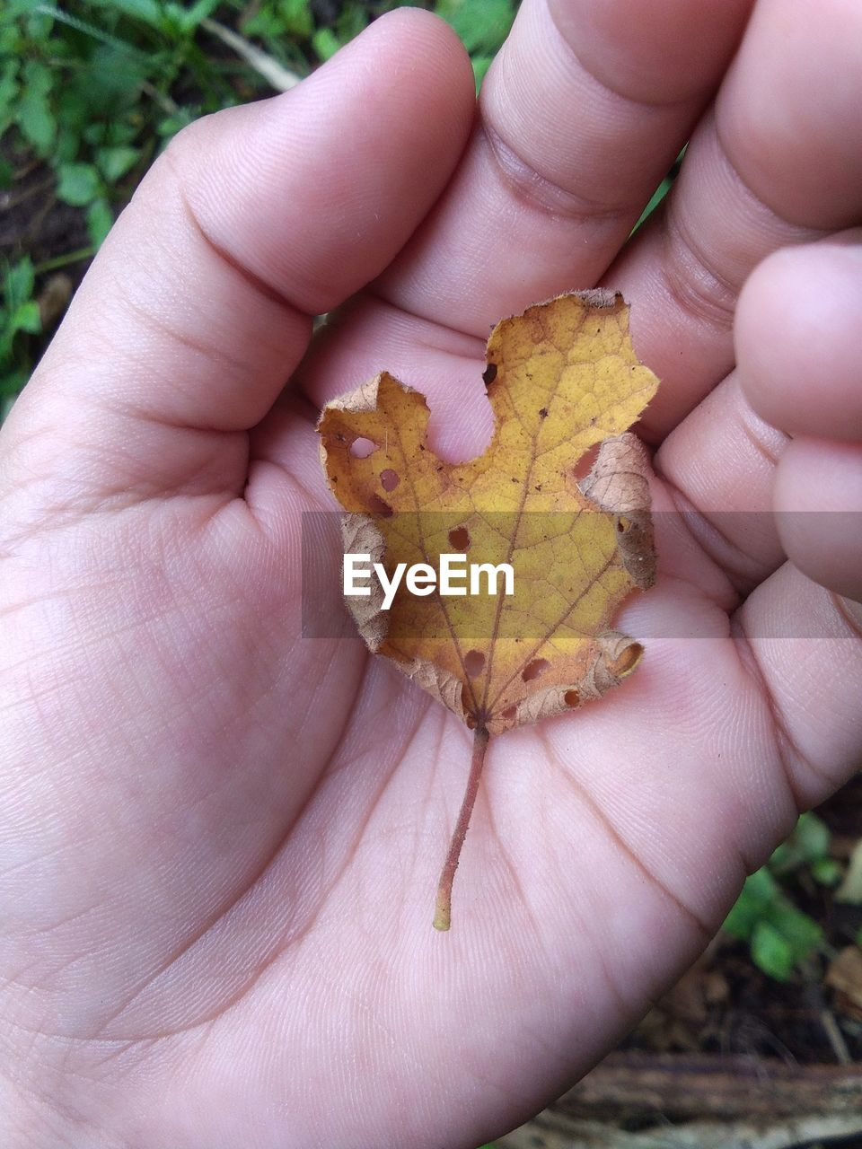 human body part, human hand, hand, one person, holding, body part, unrecognizable person, real people, day, close-up, personal perspective, nature, finger, plant part, leaf, human finger, dry, lifestyles, autumn, outdoors, change, leaves, natural condition