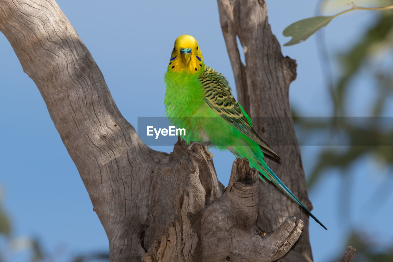 Close-Up Of Budgerigar Perching On Tree