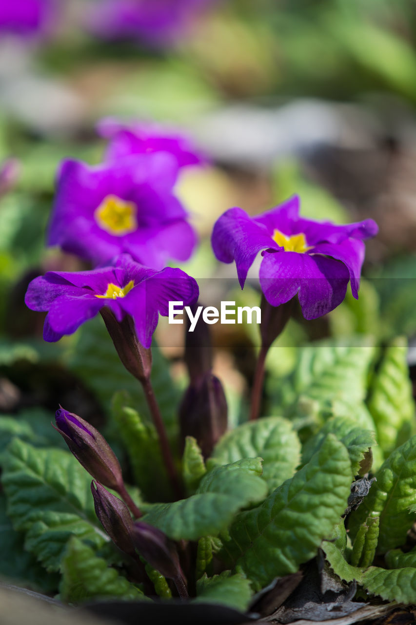 flowering plant, flower, fragility, vulnerability, plant, growth, beauty in nature, close-up, freshness, petal, flower head, inflorescence, purple, nature, no people, focus on foreground, plant part, leaf, day, green color, outdoors