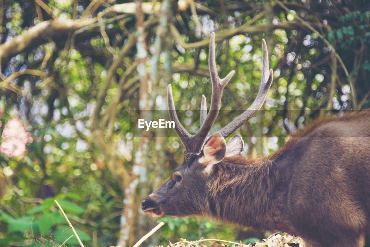 one animal, animal themes, animal, mammal, animal wildlife, plant, animals in the wild, tree, vertebrate, day, no people, nature, land, side view, focus on foreground, forest, outdoors, horned, antler, deer, herbivorous, profile view