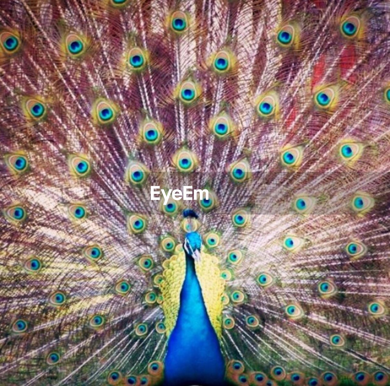 peacock, peacock feather, fanned out, one animal, feather, bird, animal wildlife, animal themes, animals in the wild, multi colored, close-up, full frame, looking at camera, no people, outdoors, portrait, day, beauty in nature, nature