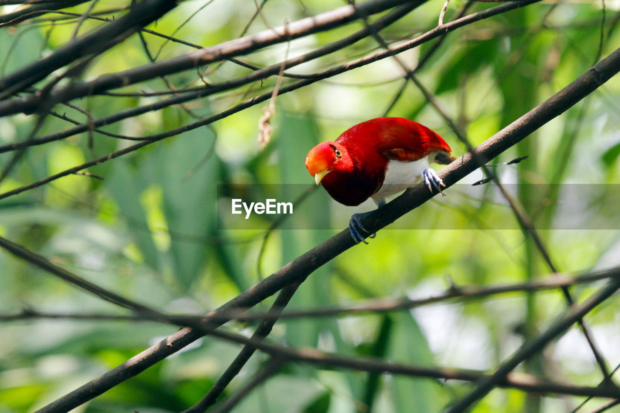 red, tree, fruit, branch, no people, one animal, perching, nature, growth, animals in the wild, food and drink, focus on foreground, day, beauty in nature, outdoors, bird, animal themes, animal wildlife, food, close-up, freshness