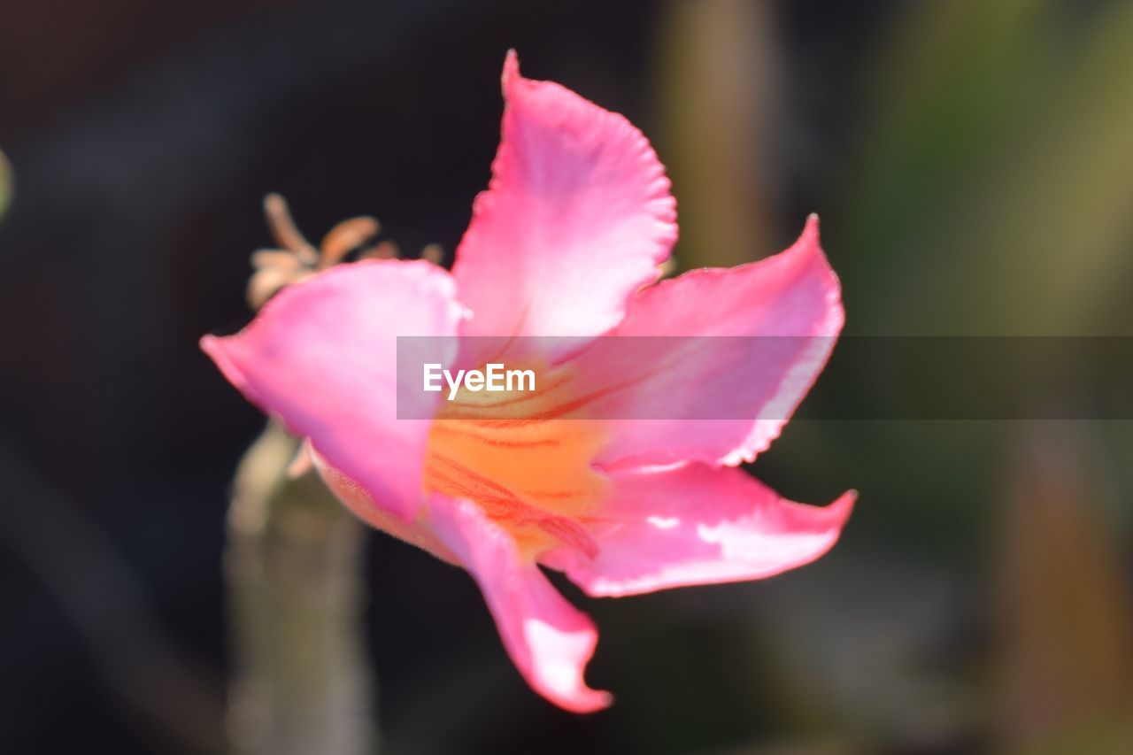 petal, flower, fragility, beauty in nature, nature, flower head, pink color, freshness, growth, blooming, close-up, no people, plant, outdoors, day