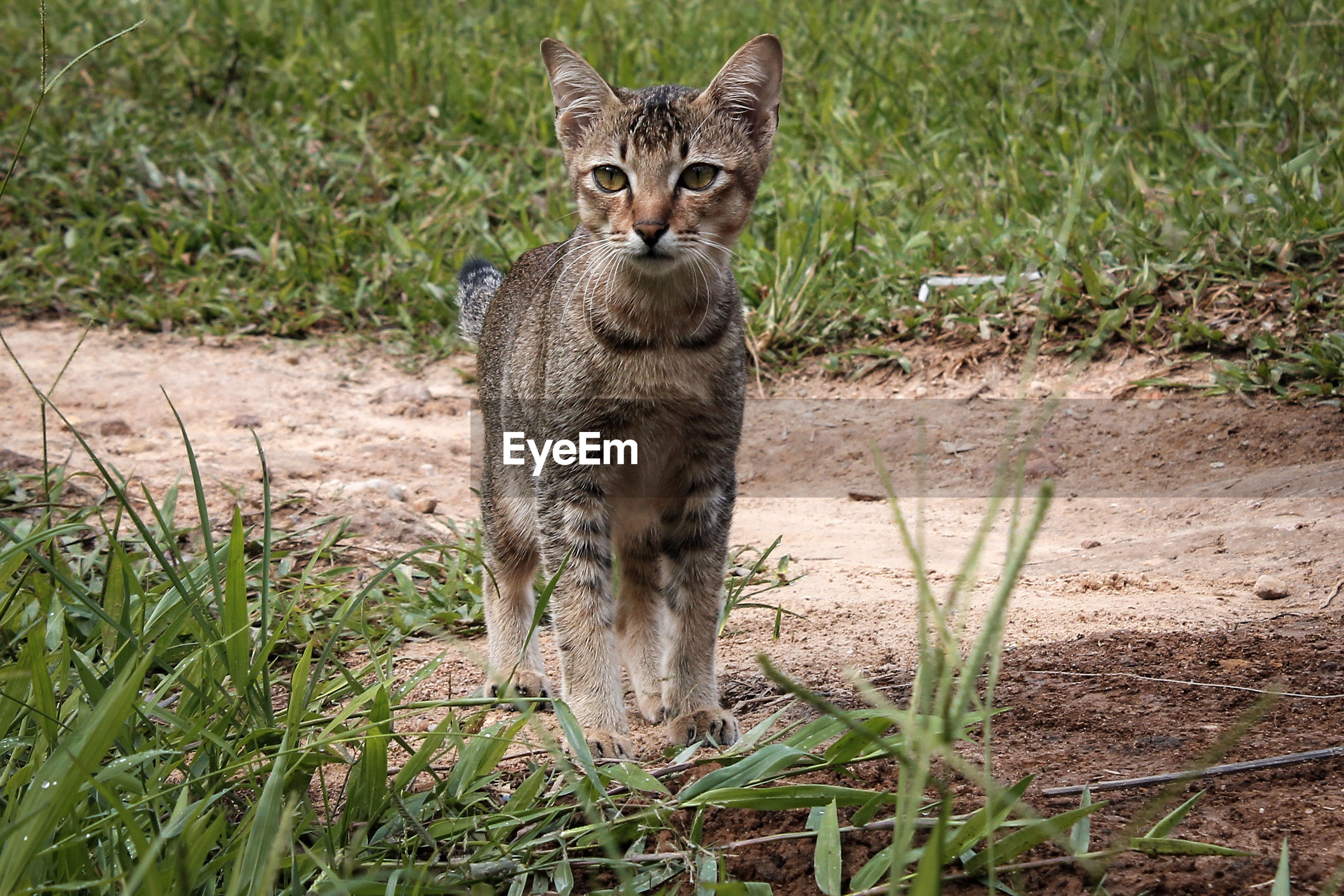 Cute cat expression when hunting in the grass