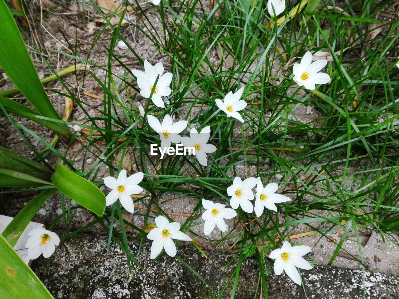 flower, petal, growth, fragility, freshness, white color, nature, flower head, beauty in nature, high angle view, blooming, outdoors, plant, day, field, no people, springtime, close-up, frangipani, crocus, snowdrop